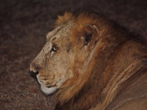As forests, wildlife and tribals exist in uneasy equilibrium, could lions be prey to sixth mass extinction?
