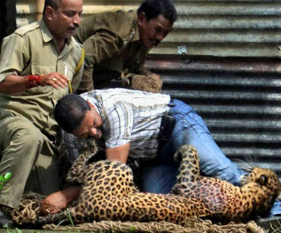 The unidentified man wrestles with the leopard as other officials try to catch it in a net. PTI
