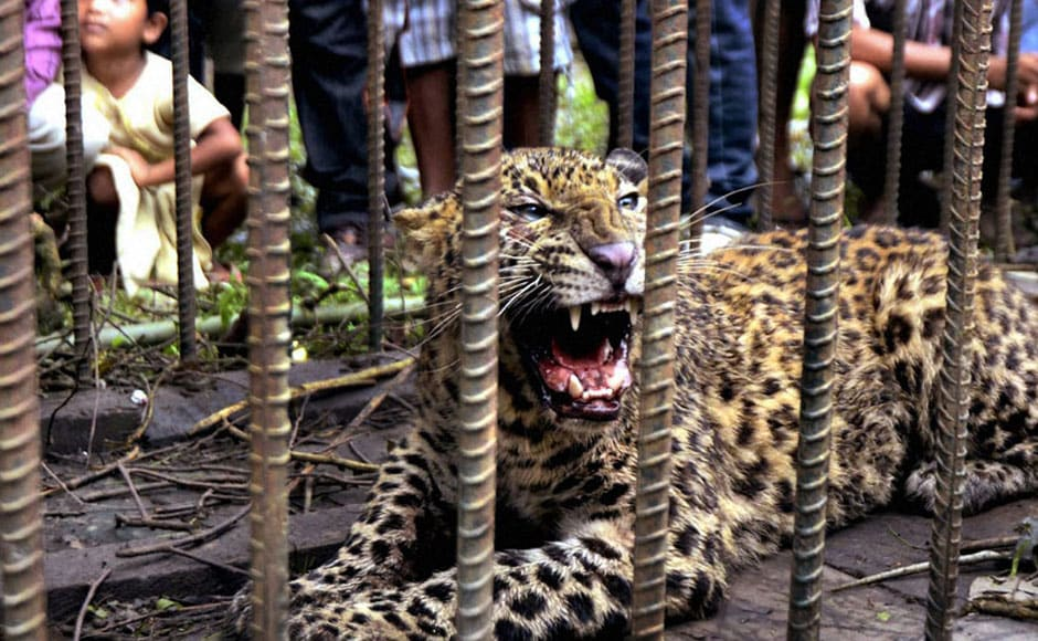 The leopard after being captured by officials of the Department of Environment & Forests in Sivasagar district of Assam. PTI