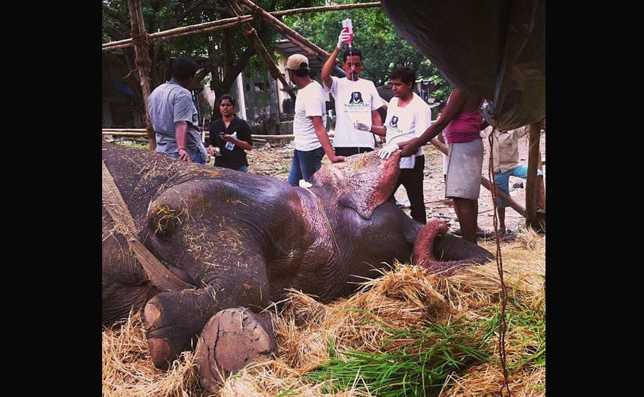 Dr Sharma, an elephant specialist from Assam was in Mumbai for two days. He started Bijlee's treatment. She suffers from an irreversible joint problem and is overweight thanks to an extremely unsuitable diet. Image courtesy: Jason Menezes.Written by: Shormistha Mukherjee