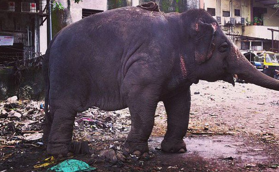 This is an 18-year-old elephant, Laxmi who is also obese like Bijlee. In fact Dr Sharma says at this rate Laxmi might have the same complications as Bijlee in a few years. Image Courtesy: Jason Menezes. Written by: Shormistha Mukherjee