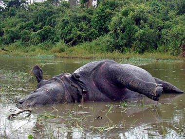 An Indian Rhinoceros lies dead with its horn missing at Kaziranga National Park. Reuters