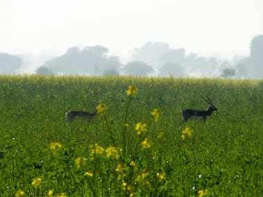 Blackbucks in a field. Image courtesy: Jay Mazoomdar