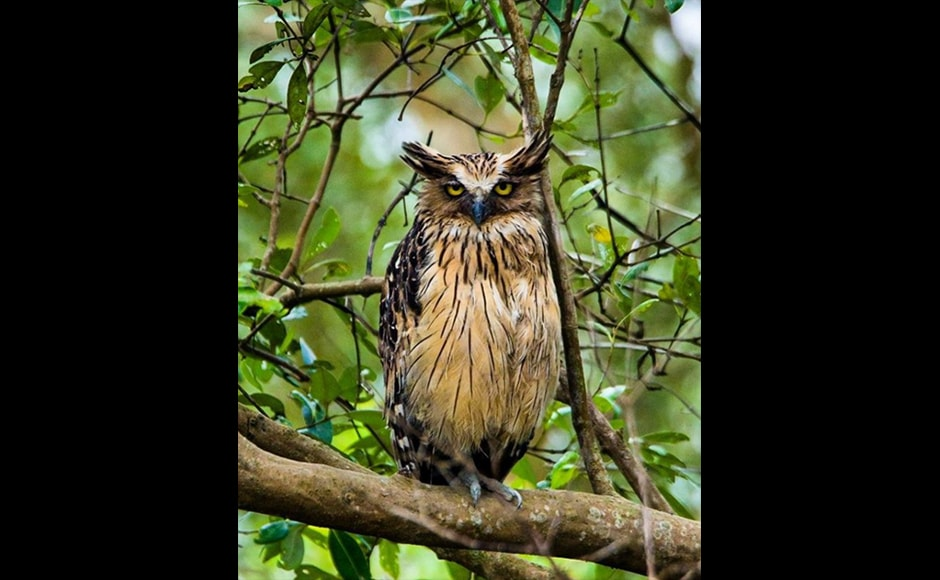 Swaroop Singha Roy, a 21-year-old student, shot this photo of a Buffy Fish Owl during a trip to the Sundarbans National Park. He titled it, 'The Headmaster'.