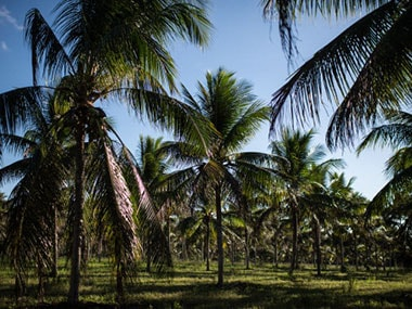 Coconut trees. Getty Images