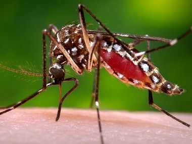A representational image of the Aedes aegypti mosquito. AP