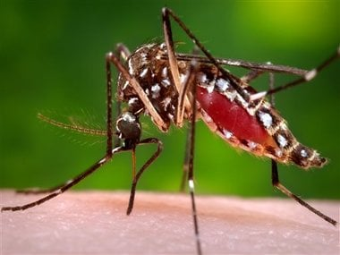 This 2006 file photo provided by the Centers for Disease Control and Prevention shows a female Aedes aegypti mosquito in the process of acquiring a blood meal from a human host. AP