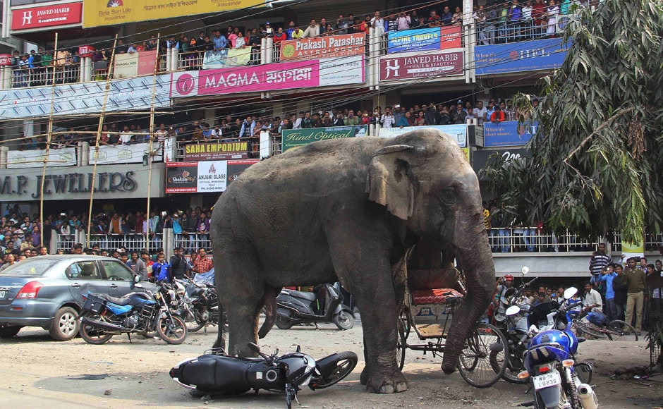 The elephant had wandered from the Baikunthapur forest, crossing roads and a small river before entering the town. The panicked elephant ran amok, trampling parked cars and motorbikes before it was tranquilized. AP