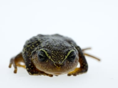 Handout pictured released in Bogota by the Humboldt Institute of a Pristimantis macrummendozai frog. AP