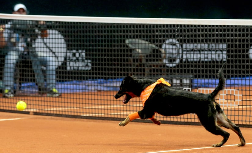 A dog runs after a tennis ball during the Brazil Open tournament in Sao Paulo, Brazil. AP