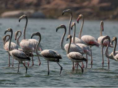 Bird watchers say the migratory birds, while choosing the lakes for their stay, look at availability of food, safety and quality of water. IANS