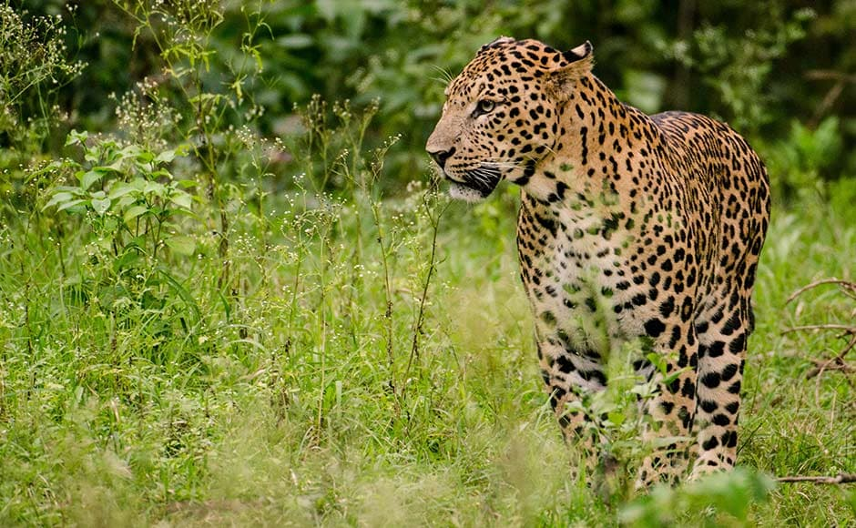 """The environment minister also released a leaflet """"Living With The Leopards"""" that lists out practical tips to minimize danger to ourselves. PTI"""
