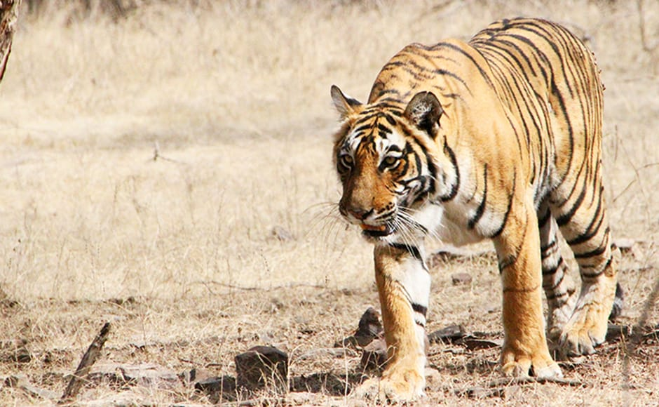 Machhli was known among park officials as a tigress with keen survival instincts.