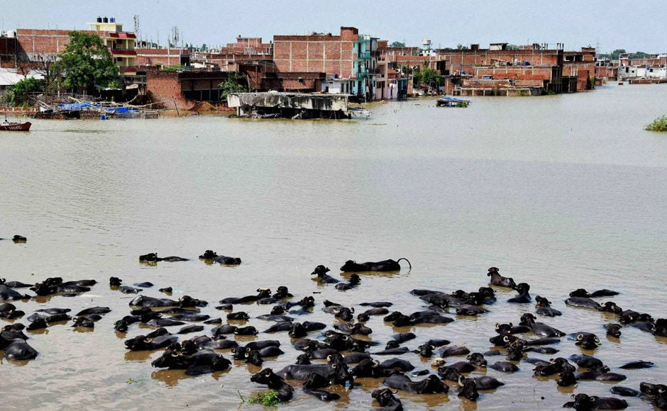 Allahabad has also been experiencing floods in low-lying areas. Ganga has breached the danger mark in the Elgin bridge area. A herd of buffalos take bath in the flood waters at Chota Baghara area in Allahabad. Most houses in the area were also submerhed. Photo: PTI