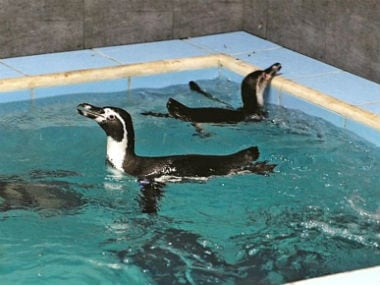 Eight Humboldt penguins were brought to the Byculla zoo. News18