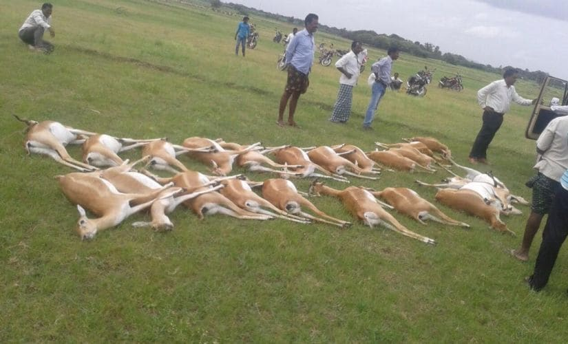 The blackbucks which died after consuming pesticide at Gummadam village. Photo: TS Sudhir