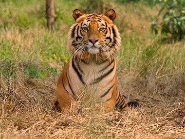 Around 105 sp km of tiger habitat will be lost to the project. Reuters