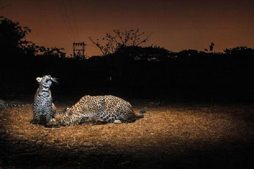 From 'Urban Leopards' by Nayan Khanolkar