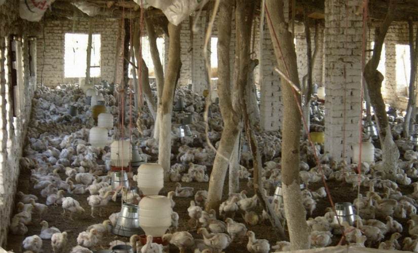 With buyers on the decline, poultry farmers put up their own retail stalls on highways and offered the meat at almost 50 percent of the market cost. Representational image. Reuters