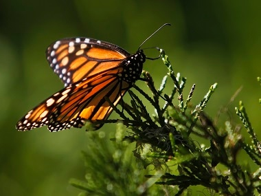 A monarch butterfly clings to a plant. Reuters