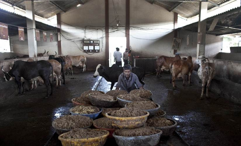 Hindus traditionally abstain from cow meat and revere the bovine animal. Getty Images