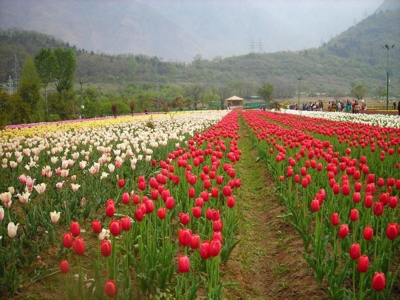 Indira Gandhi Memorial Tulip Garden, Srinagar