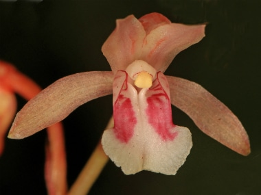 The orchid family has some 28,000 species — more than double the number of bird species and quadruple the mammal species. Wikimedia Commons