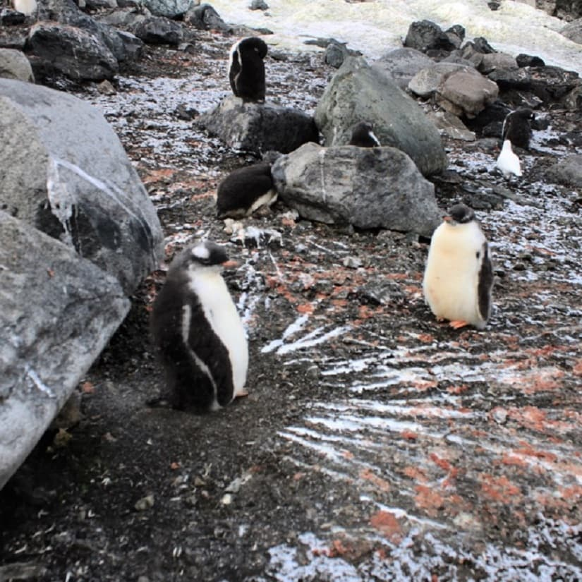 You can almost tell where the wind has been blowing from all summer if you look at Penguin poop! This one had some shelter, so it's not very accurate!