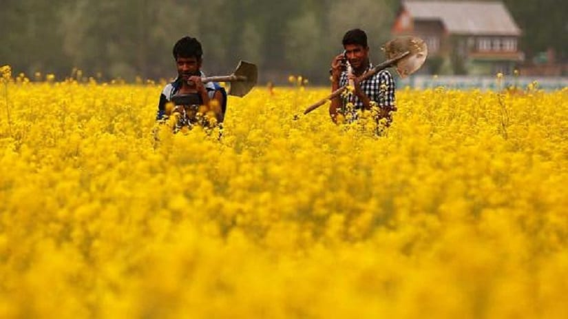What is the row over GM mustard all about? Image via Firstpost Hindi