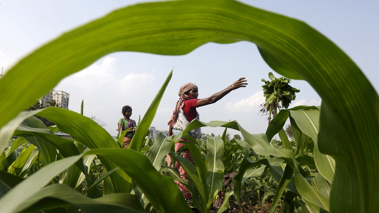 A farmer removes weeds from her corn field in Kolkata, India, February 28, 2016. To match INDIA-BUDGET. REUTERS/Rupak De Chowdhuri - RTS8EPV