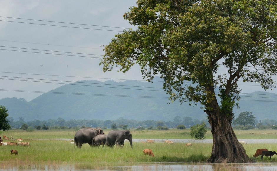 Elephants of the inundated Pobitora Wildlife Sanctuary graze at Khola Bhuyan village in Guwahati on Thursday. PTI