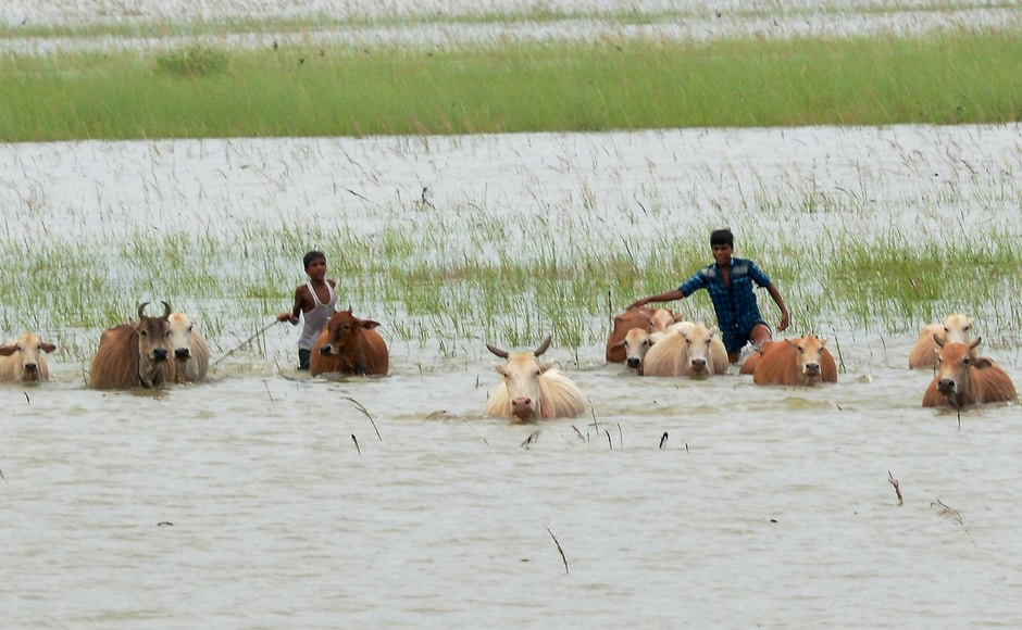 Boys and cattle wade through flood waters at a village in Morigaon district of Assam. PTI