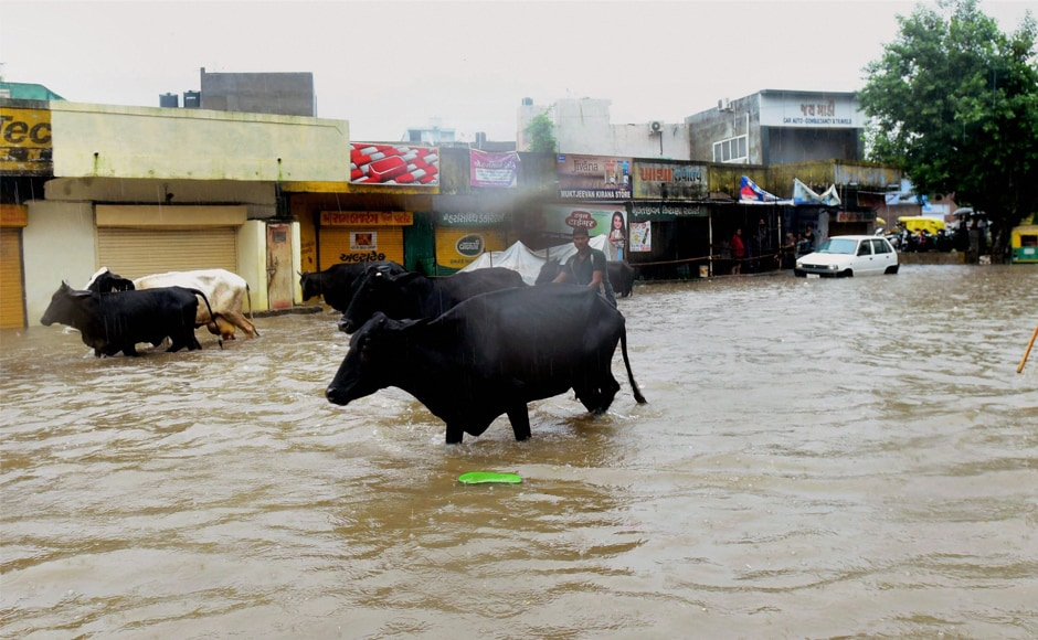 A man with his cattle on a waterlogged road after heavy rainfall in Ahmedabad. Apart from Ahmedabad, Gandhinagar and Kheda also received heavy rainfall in the last 24 hours, affecting thousands of people who had to be relocated to safer areas. PTI