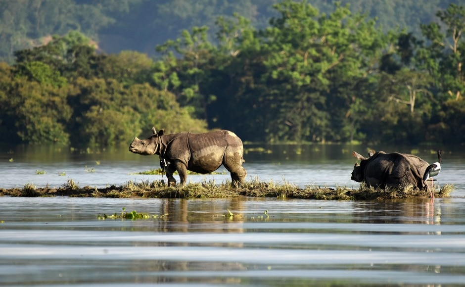 One-horned rhinoceroses at the Kaziranga National Park in upper Assam are seen searching for high ground to survive the floods. Every year, dozens of rhinoceroses are rescued and taken to safety during the monsoon season. According to park authorities, over 70 animals have drowned in the floods in 2017. Reuters