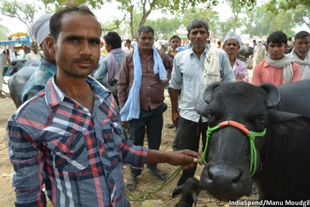 Brajal Kumar Dwivedi of Jaisinghpura village in Kannauj district of central Uttar Pradesh wanted to sell a mother-calf buffalo pair for Rs 90,000, but he did not get offers beyond Rs 70,000. He bought the buffalo last year for Rs 80,000, fed it, had it impregnated but cannot get the right price, as demand falls. Engaged to be married, Dwivedi hoped to raise money for his wedding. He has now decided to wait for a few weeks, hoping that prices stabilise.