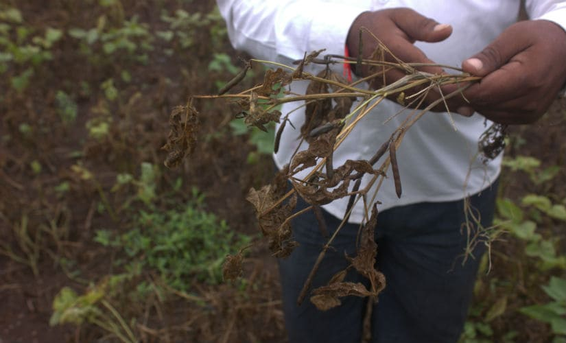 Sudarshan Gotekar shows his udid crop. Usually, the plant has knee-length height and 50 to 60 seedpods but this year, only 5 to 6 seedpods were there. Image courtesy: Bhakti Tambe