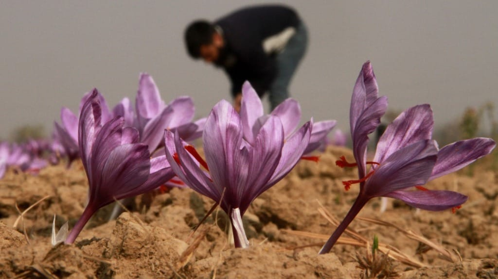 The saffron yield in Kashmir Valley has gone down substantially. All photos courtesy Sameer Mushtaq