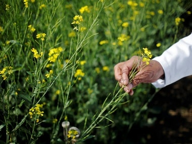 An Indian scientist holds a genetically modified (GM) rapeseed crop. Reuters.