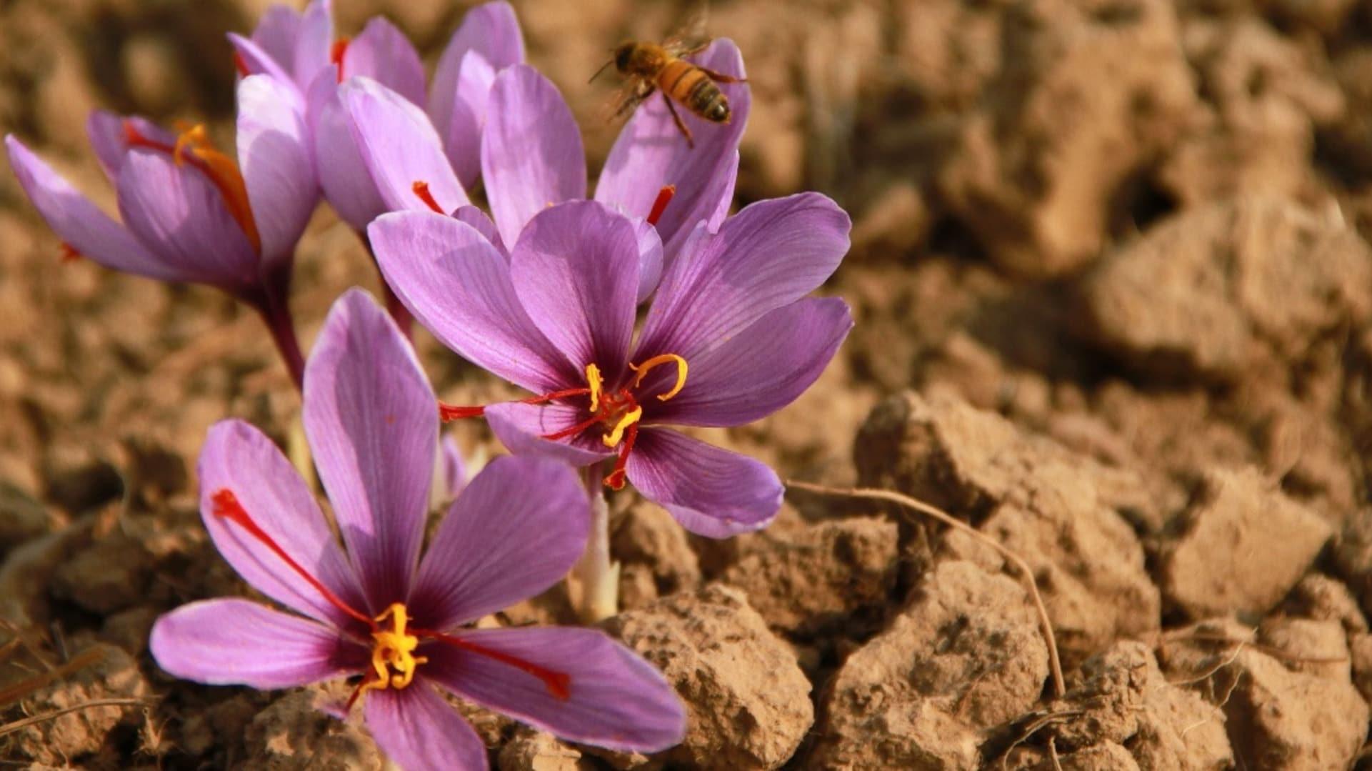 Kashmir's saffron harvest sees sharp decline