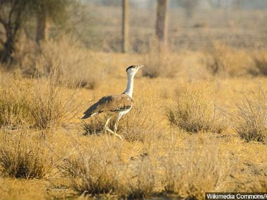 Great Indian Bustard fights losing battle of survival as energy-hungry India embarks on renewable power overdrive