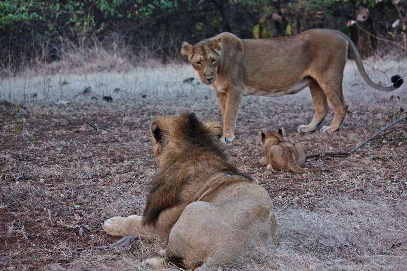 Lion family within Sasan Gir