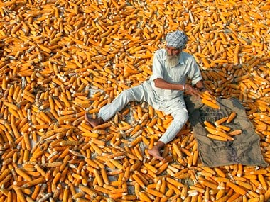 A farmer puts maize out in the sun on the outskirts of Chandigarh . Image: Reuters