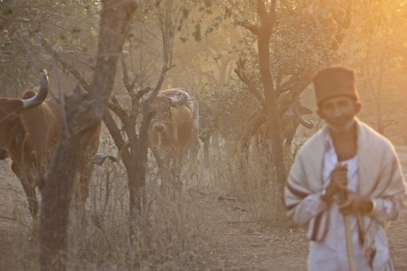 Tribal herdsman with his cattle