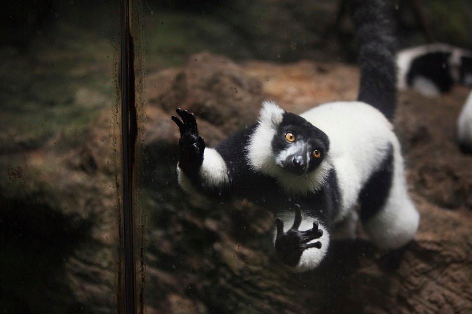 Parelkar's photos bring to mind the adage: God loved the birds and invented trees. Man loved the birds and invented cages — Jacques Deval. Here: Black and White ruffed lemur in an enclosure at the Tropic Zone exhibit.