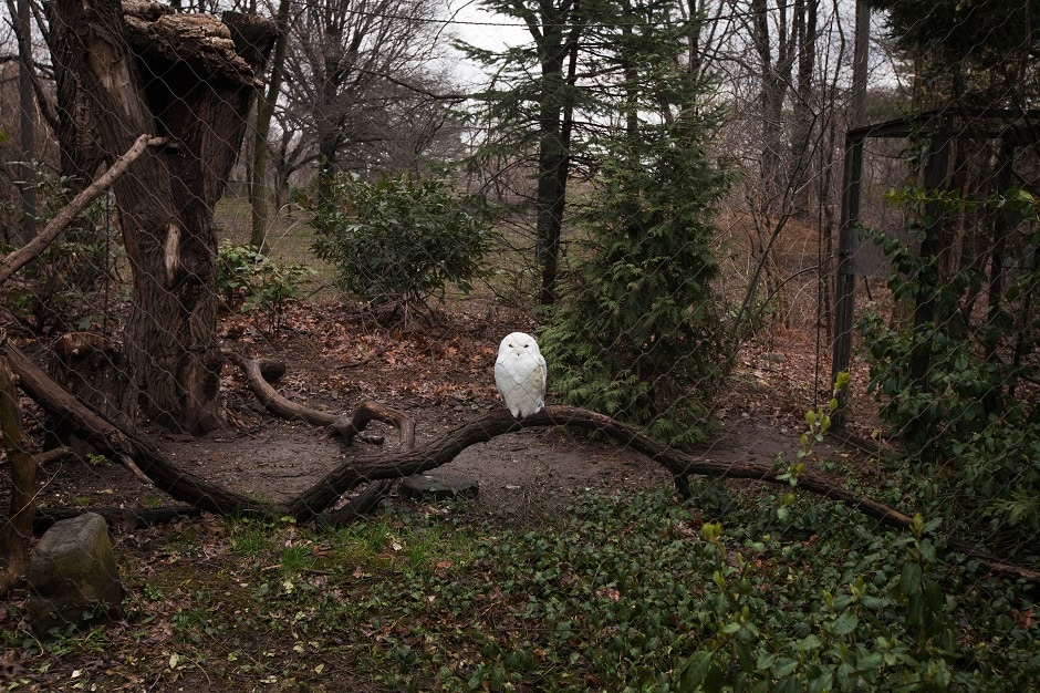 A Snowy Owl inside an outdoor enclosure at the Queens Zoo located in the Flushing Meadows Corona Park, New York.