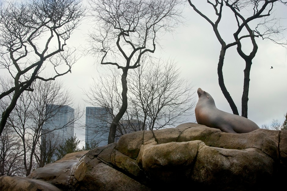 A sea lion sitting on top of a rock inside the exhibit at Central Park Zoo.