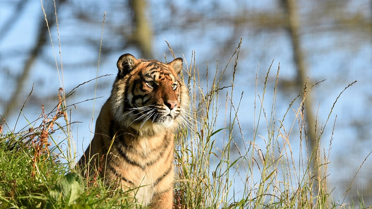 Indian tigers losing their rich genetic variation, habitat loss and inbreeding to blame: Study