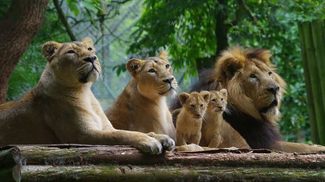 Endangered Gir lions conquer viral threat, experts advise moving some prides to other Parks