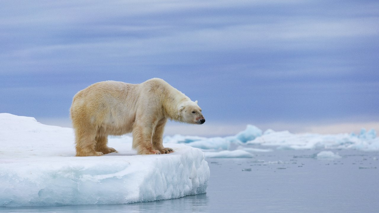 Summer sea ice in the Arctic is expected to virtually disappear by 2050. Zaruba Ondrej/AP
