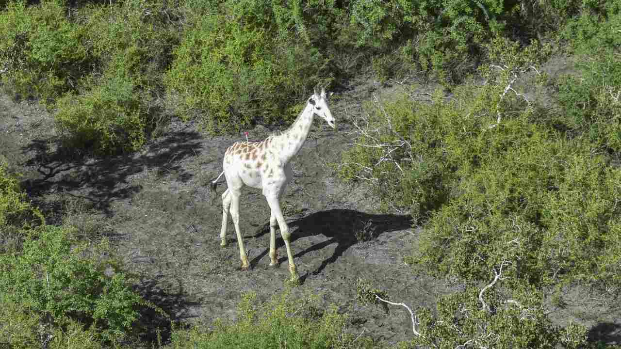 World's Only White Giraffe Fitted with GPS Tracker in Kenya